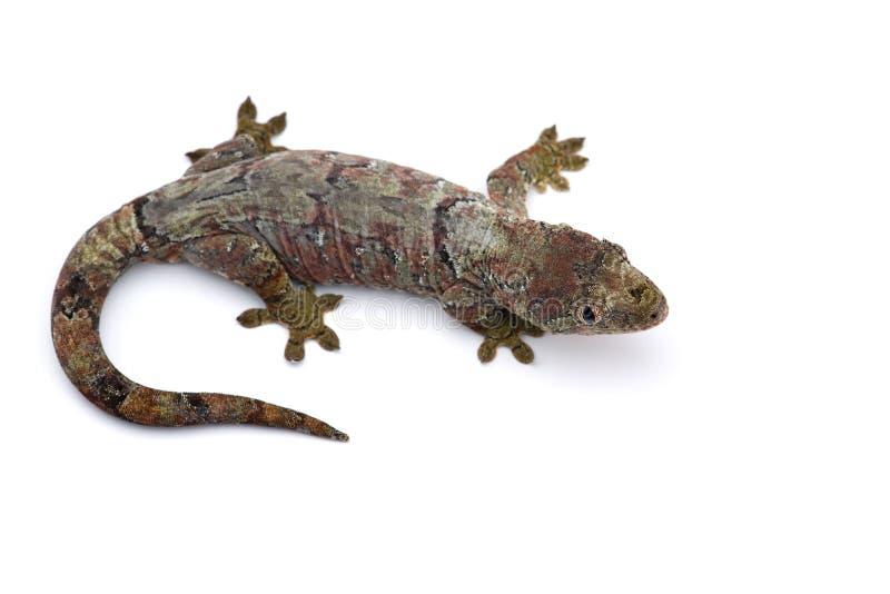 Il nuovo geco caledoniano muscoso isolato su bianco fotografia stock libera da diritti