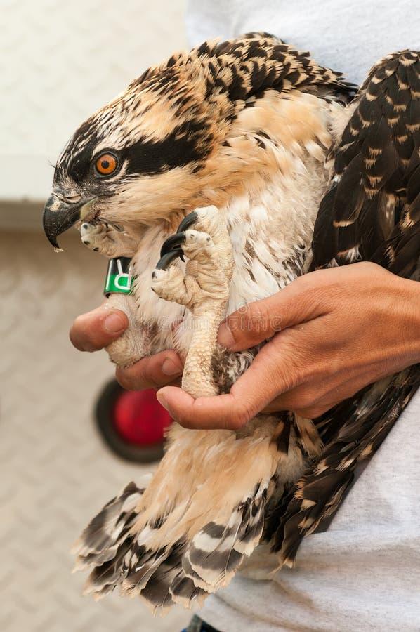 Il Osprey giovanile ha tenuto dopo il bendaggio fotografia stock libera da diritti