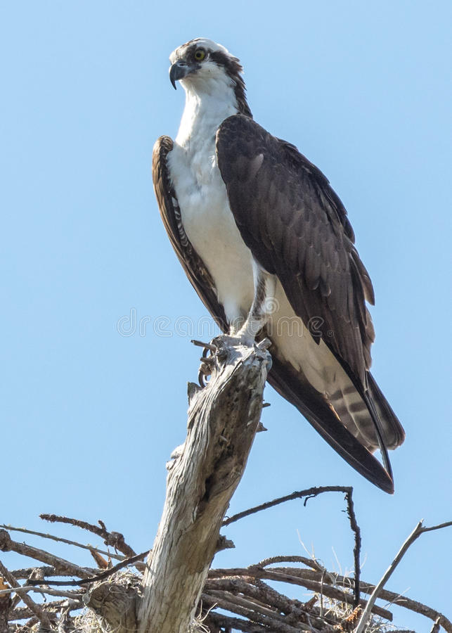 Il Osprey si è appollaiato immagine stock