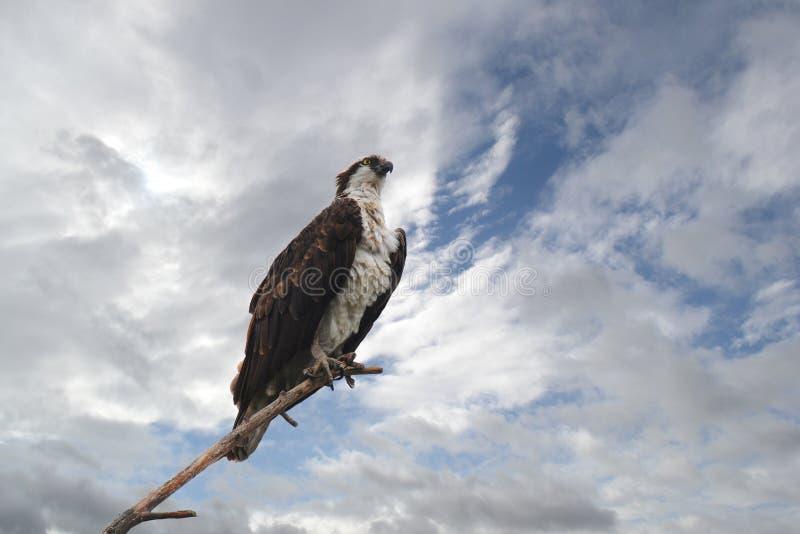 Il Osprey si è appollaiato sulla filiale fotografie stock