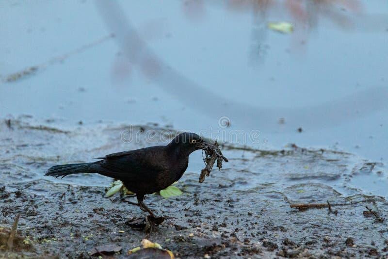 Il ossifragus di corvo dell'uccello del corvo del pesce foraggia per alimento immagine stock libera da diritti