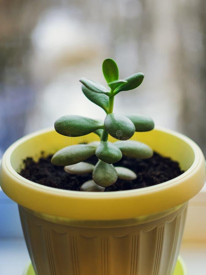 Il ovata succulente della crassula della pianta conosciuto come la pianta di soldi o di Jade Plant immagine stock