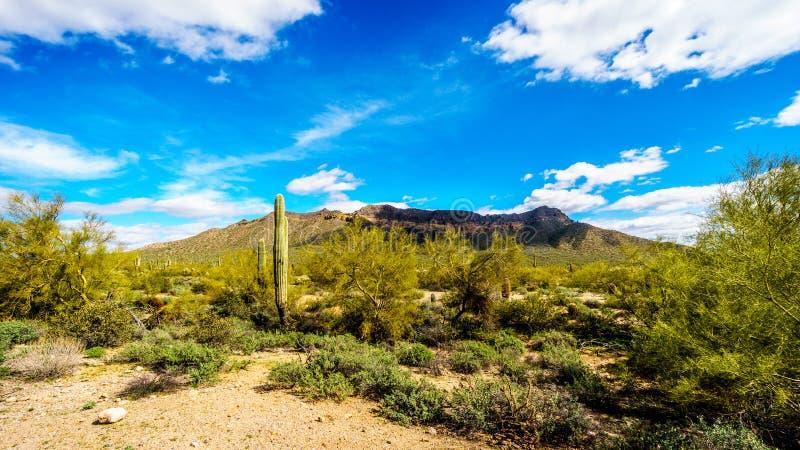 Il paesaggio del deserto dei semi del parco regionale della montagna di Usery con i molti Octillo, Saguaru, Cholla e cactus di ba fotografie stock
