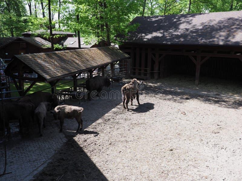 Il paesaggio della famiglia dei bisonti europei selvaggi sta su terra sabbiosa nella recinzione alla città di Pszczyna, Polonia fotografie stock