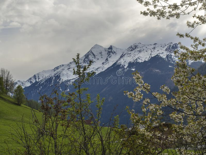 Il paesaggio della montagna della primavera con innevato alpen i picchi di montagna ed i rami di fioritura di melo, prato verde d fotografia stock libera da diritti