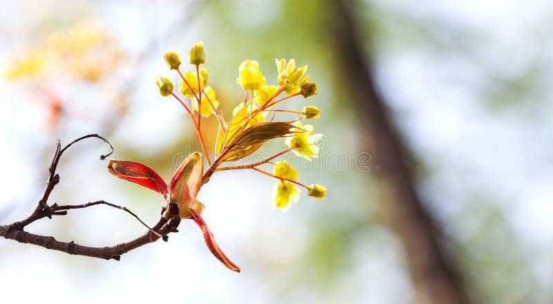 Il paesaggio della natura della primavera con l'albero di acero fiorisce la macro vista foglie fresche contro luce solare Fuoco m fotografia stock