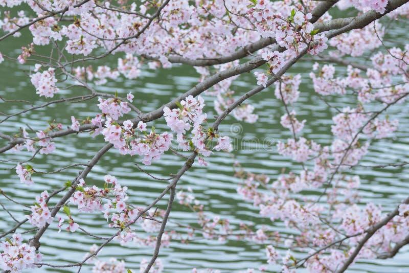 Il paesaggio di Cherry Blossoms bianco giapponese intorno allo stagno innaffia fotografia stock libera da diritti