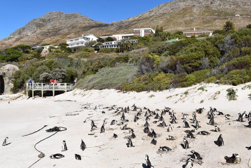 Il paesaggio meraviglioso ai massi tira con molti pinguini di asino a Cape Town, Sudafrica fotografia stock