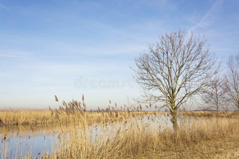Il paesaggio olandese meraviglioso con la fossa ha circondato la canna del bij e un albero nudo solo fotografia stock