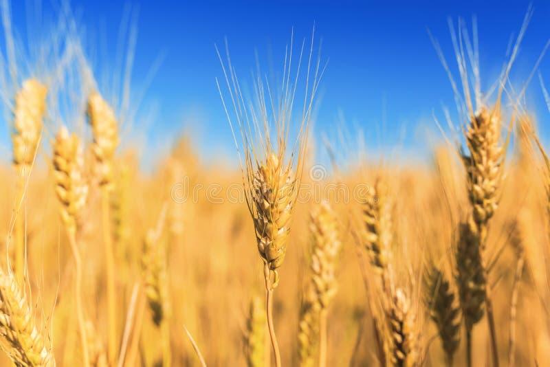 Il paesaggio rurale con un campo delle orecchie dorate del grano allunga al chiaro cielo blu ha maturato un giorno di estate cald fotografia stock libera da diritti