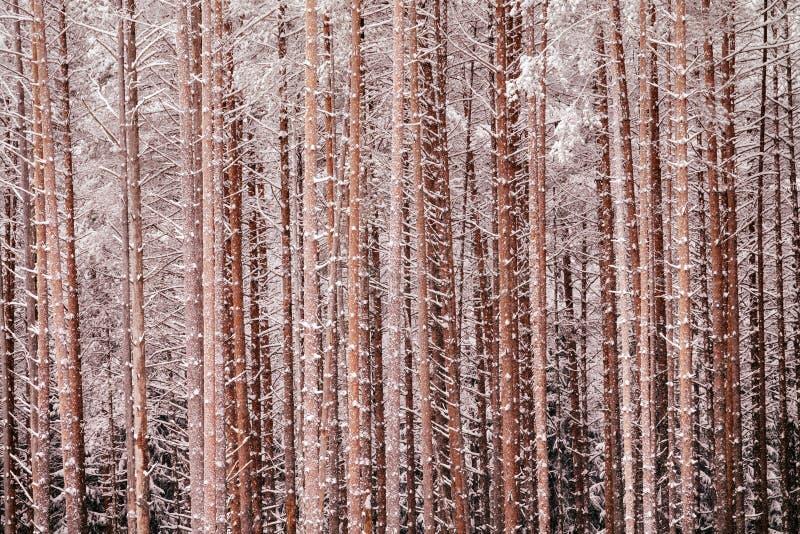Il paese delle meraviglie nevoso favoloso della foresta pittoresca del winer fotografia stock