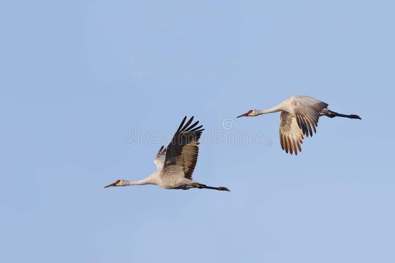 Il paio di Sandhill Cranes il canadensis in volo - Gainesvill di gru fotografia stock libera da diritti
