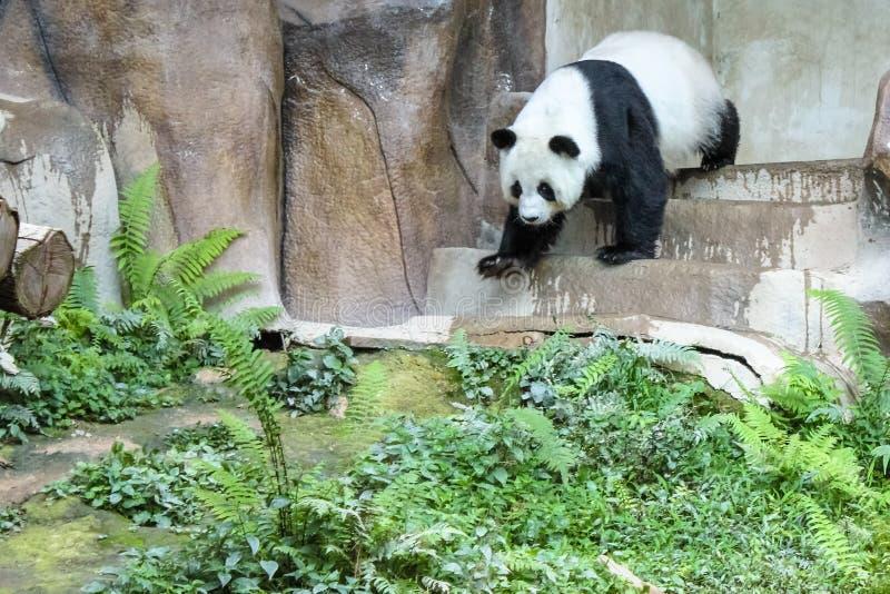 Il panda gigante fotografie stock libere da diritti