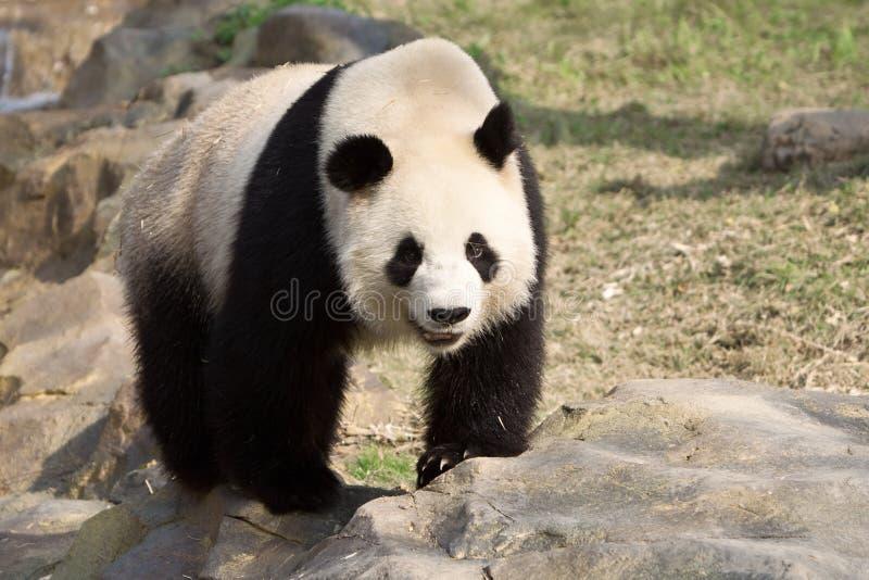 Il panda gigante cammina su una roccia fotografie stock