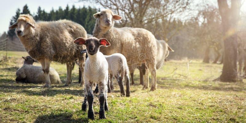 Il panorama, l'agnello e le pecore si affollano, benessere degli animali fotografia stock