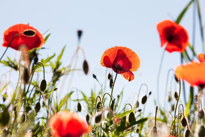 Il papavero di cereale fiorisce i rhoeas del papavero immagini stock libere da diritti