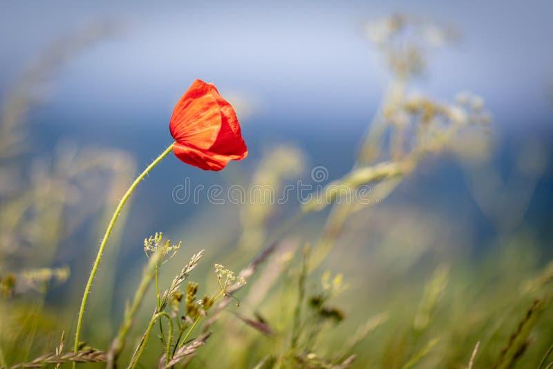 il papavero rosso sta sulla costa ripida dal mare immagine stock