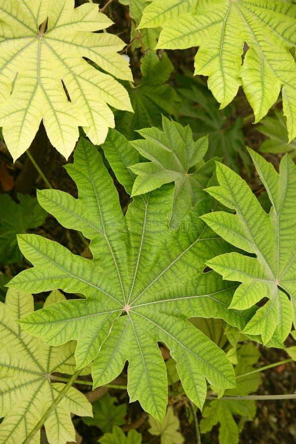 Il papirifera di aralia lascia a particolari il Araliaceae dalla C fotografie stock libere da diritti