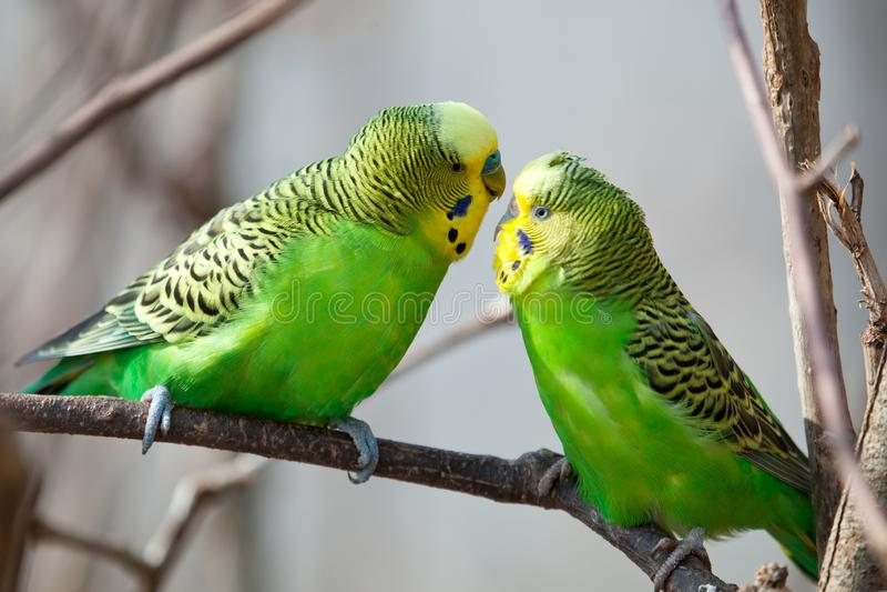 Il pappagallino ondulato si siede su un ramo Il pappagallo è brillantemente colorato di verde Il pappagallo dell'uccello è un ani fotografie stock