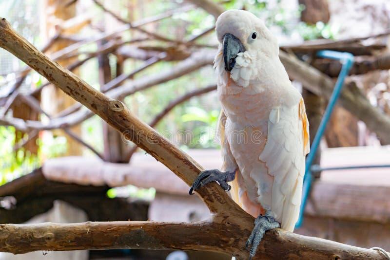 Il pappagallo bianco severo dell'ara, si chiude sull'ara fronteggiata castagna fotografie stock libere da diritti