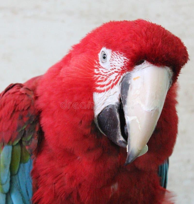 Il pappagallo curioso da Mgarr, Malta immagine stock libera da diritti
