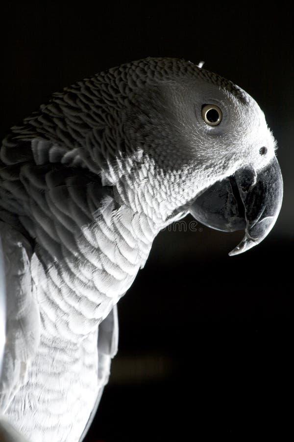 Il pappagallo di Grey africano fotografia stock