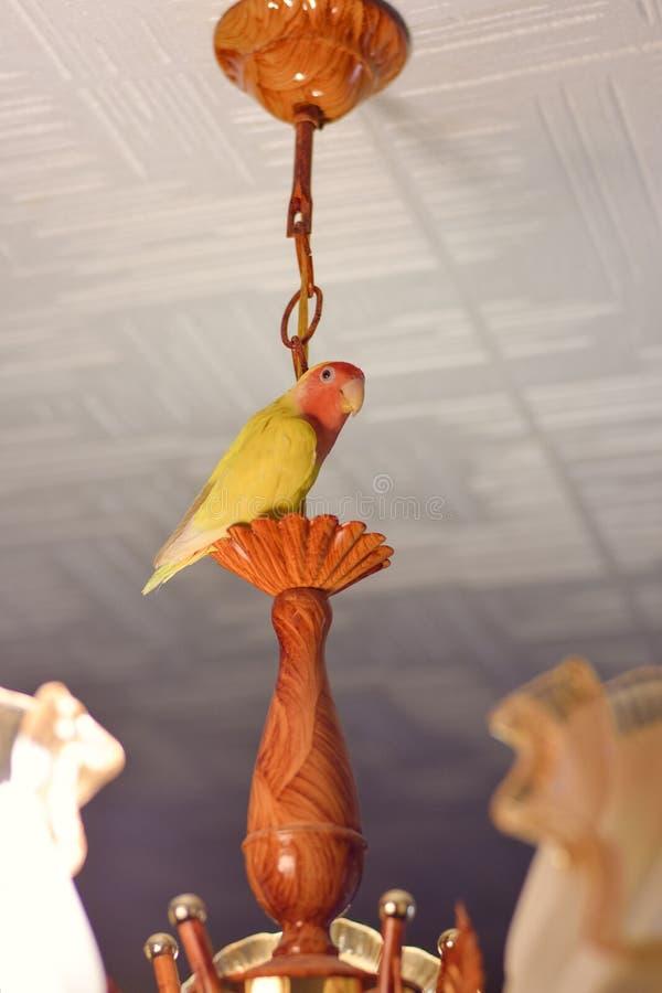 Il pappagallo giallo è un solitario su un candeliere fotografia stock