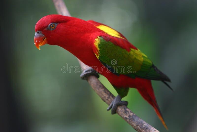 Il pappagallo rosso fotografie stock
