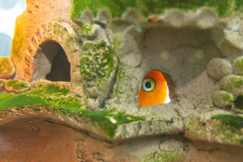 Il pappagallo rosso del pesce dell'acquario si è nascosto in una caverna immagine stock
