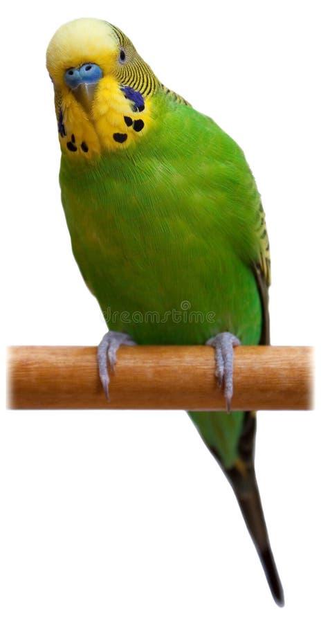 Il pappagallo verde australiano ha isolato immagine stock libera da diritti