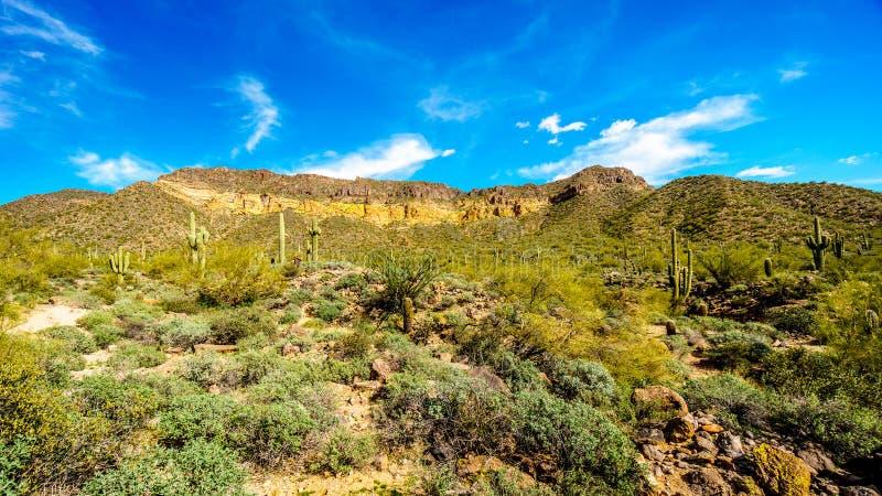 Il parco regionale della montagna di Usery con è molto saguaro e cactus di Cholla sotto cielo blu fotografie stock libere da diritti