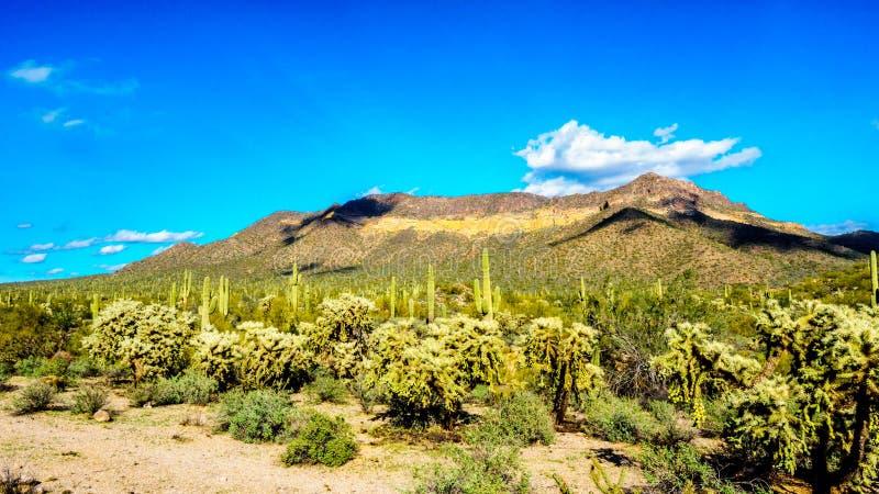 Il parco regionale della montagna di Usery con è molto saguaro e cactus di Cholla sotto cielo blu immagini stock