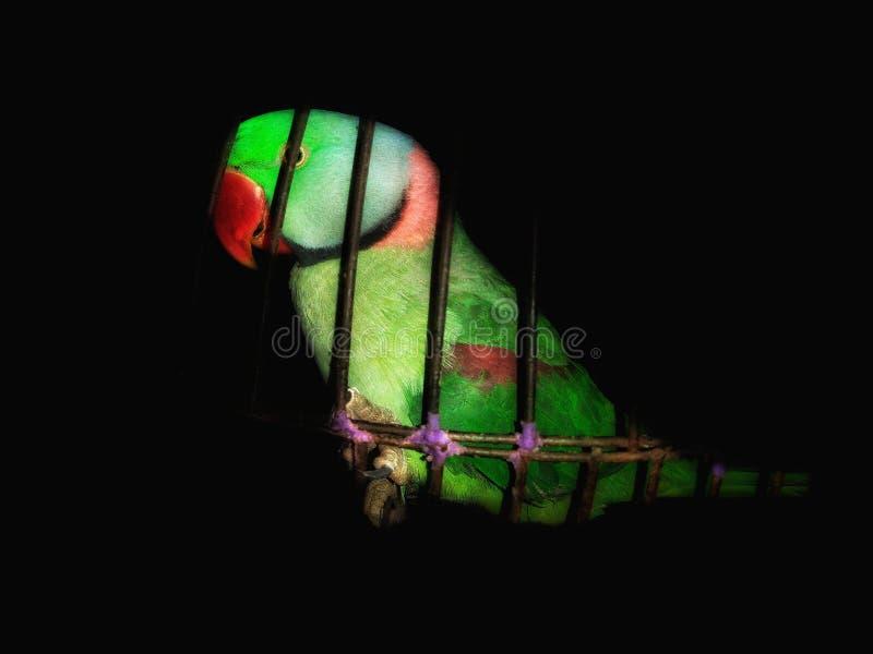 Il parrocchetto dal collare rosa o il pappagallo verde in gabbia fotografie stock libere da diritti