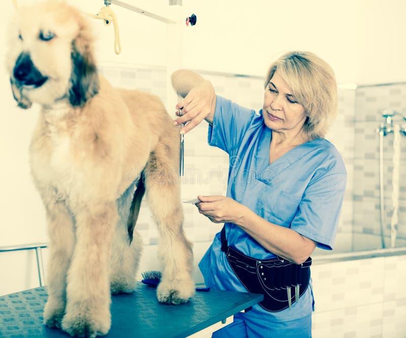 Il parrucchiere della donna taglia il pastore afgano del cucciolo nel salone di bellezza per fotografia stock libera da diritti