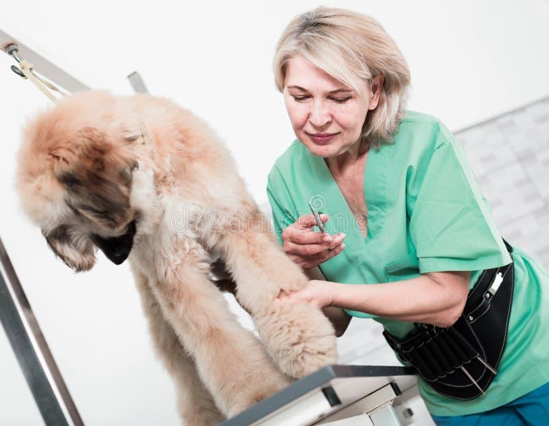 Il parrucchiere della donna taglia il pastore afgano del cucciolo nel salone di bellezza per fotografia stock