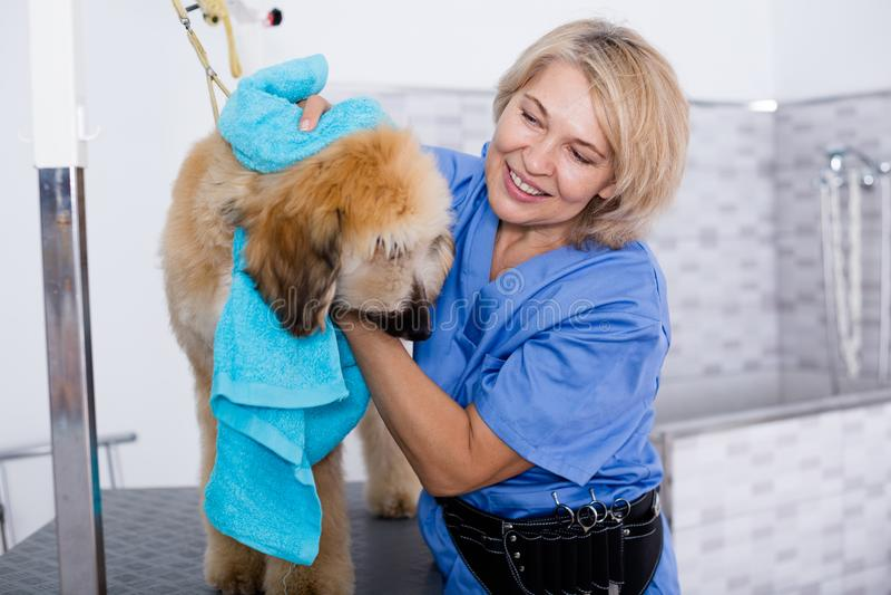 Il parrucchiere maturo della donna pulisce il cucciolo del levriero afgano nei hairdres fotografia stock