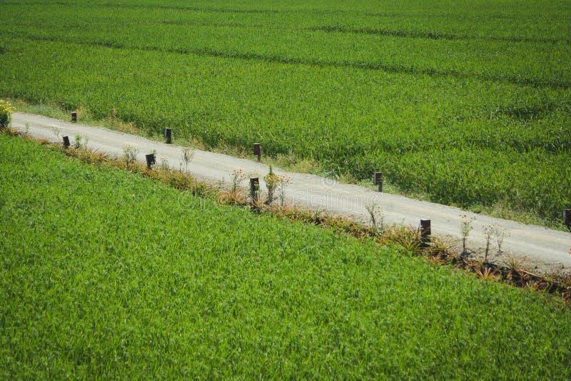 Il passaggio pedonale nel giacimento del riso fotografia stock libera da diritti