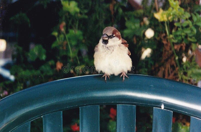 Il passero arrabbiato grasso adorabile fotografia stock libera da diritti