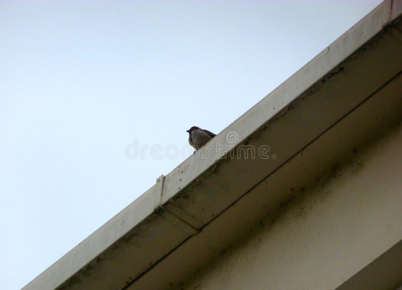 Il passero che si siede sull'orlo di un tetto fotografie stock