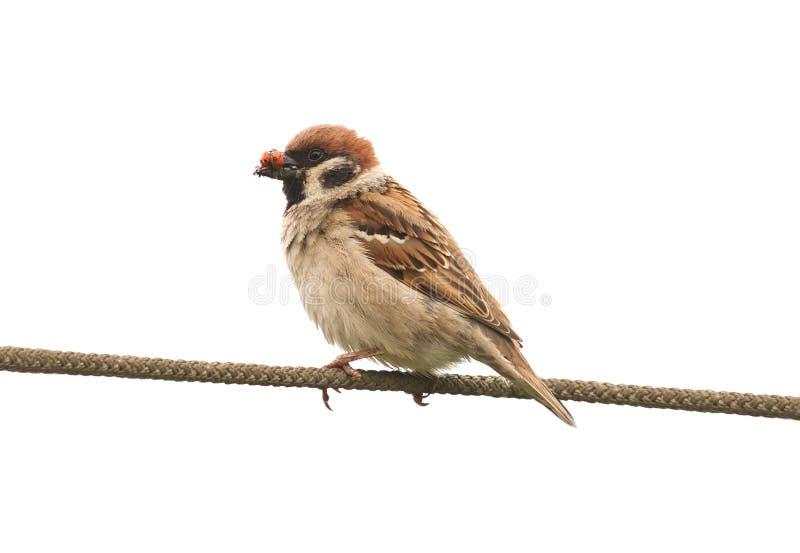 Il passero con il suo becco in pieno degli insetti che si siedono sulla corda su bianco ha isolato il fondo fotografia stock libera da diritti