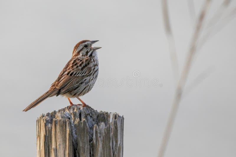 Il passero della canzone canta vicino al fiume fotografia stock libera da diritti