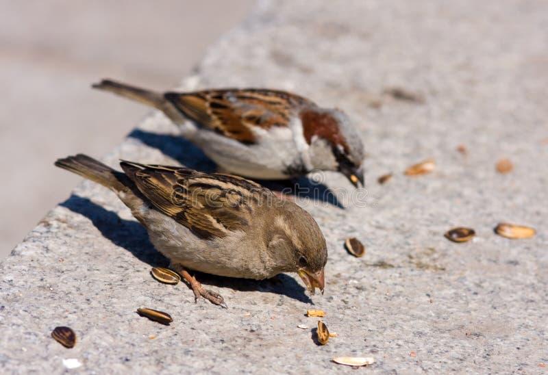 Il passero due mangia i semi di girasole immagini stock libere da diritti
