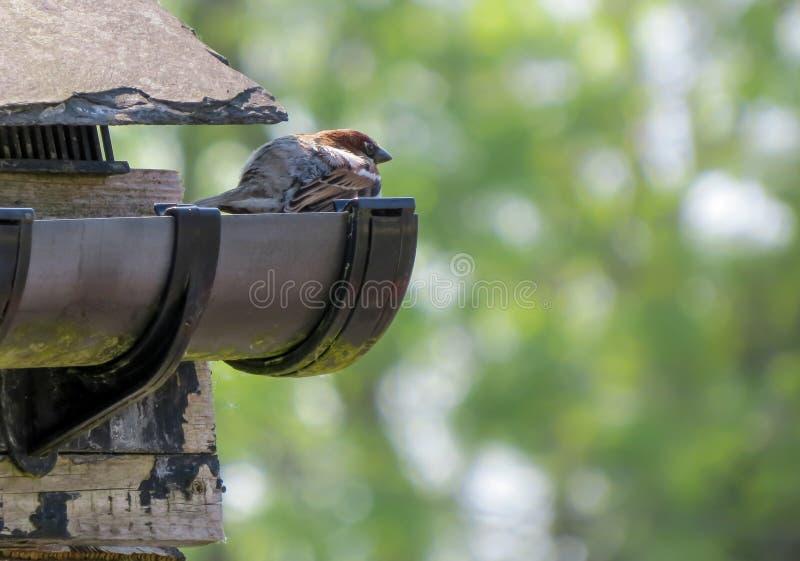 Il passero si è appollaiato sul guttering nella gronda del tetto immagine stock libera da diritti