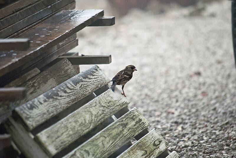 il passero stava cercando l'alimento immagini stock