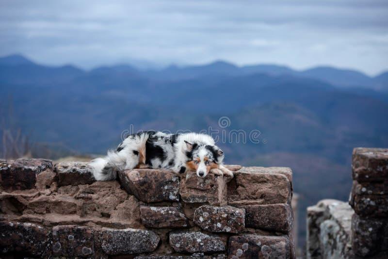 Il pastore australiano del cane si trova sulle pietre Animale domestico alle rovine in natura Viaggio, montagne fotografie stock libere da diritti