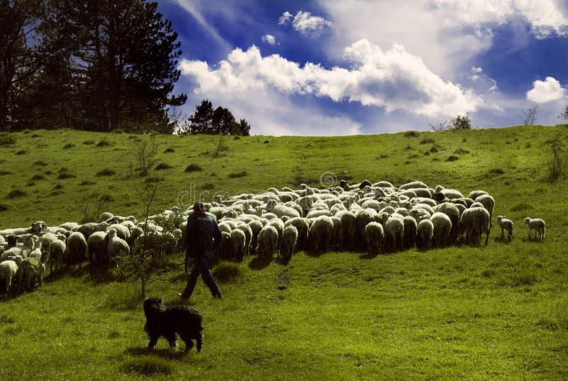 Il pastore cammina lungo il prato soleggiato con il suoi cane e gregge delle pecore fotografia stock