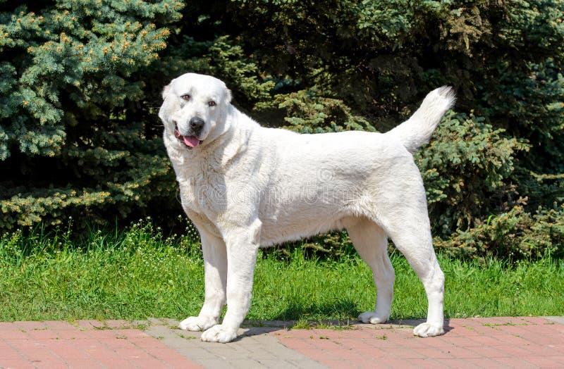 Il pastore centroasiatico Dog guarda da parte fotografia stock libera da diritti