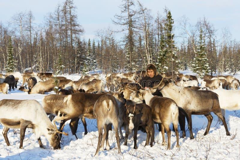 Il pastore del nomade alimenta la renna durante la migrazione immagini stock libere da diritti
