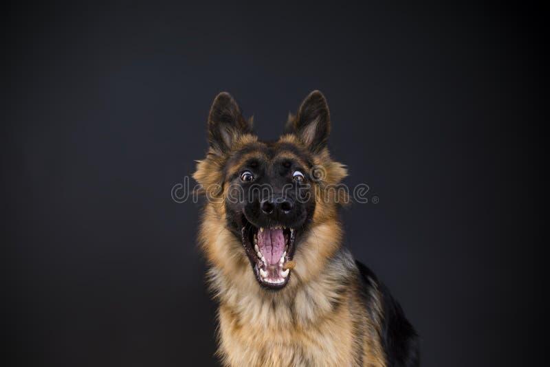 Il pastore tedesco del cane felice prende l'alimento fotografia stock