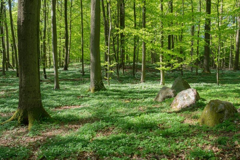 Il pavimento della foresta di una foresta del faggio in primavera, Danimarca fotografia stock libera da diritti